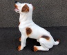 (685) Jack Russell terrier